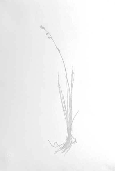 Pink Asphodel Herbarium Study 3