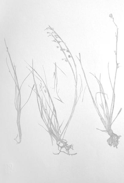 Pink Asphodel Herbarium Study 1
